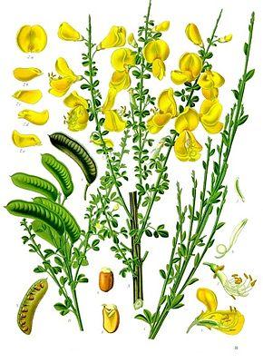 planche_genet_balai_Cytisus_scoparius_-_Köhler–s_Medizinal-Pflanzen-200